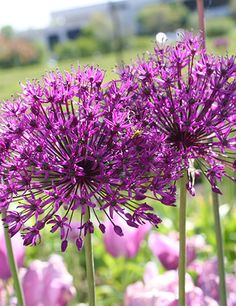 Purple Sensation Allium... Possible flower for North Texas. Plant ASAP if wanted for spring.