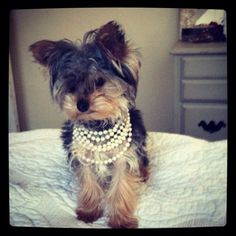 My yorkie http://media-cache4.pinterest.com/upload/223913412693420614_W0xJA0U3_f.jpg abradley926 for my pups