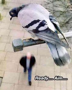 pigeon, bird, anim, funni stuff, aim, funny pictures, funni pictur, humor, thing