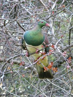Native New Zealand Woodpigeon by absurdum14, via Flickr