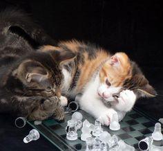 Cat chess