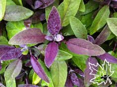 Purple leaf sage - gorgeous, aromatic, and culinarily useful. It attracts beneficial insects like butterflies, hoverflies, and ladybugs. And...