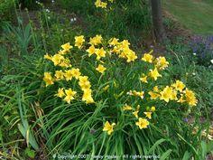 'Moon Traveler' - small rebloomer like Stella d' Oro but yellow flowering