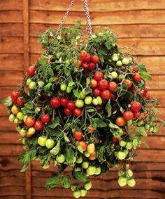 Hanging tomato basket.