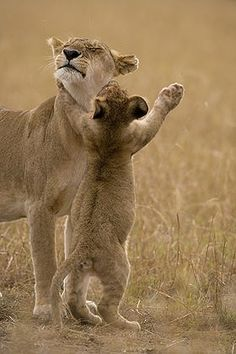 ~~Africa | Lion cub swats with Lioness (Panthera leo) while playing in morning on savanna.  Masai Mara Game Reserve, Kenya |  © Paul Souders ~~