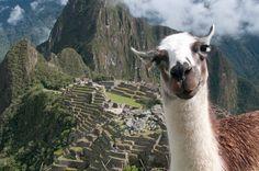 Llama photobomb in Machu Picchu, Peru..