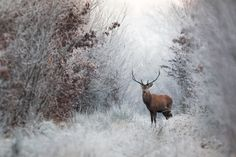 Photo deer in winter by Nicolas Le Boulanger on 500px