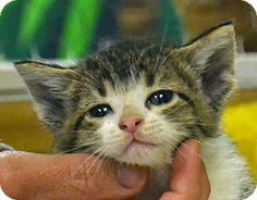 Mary Jo is a 6 week old female Tabby/DSH mix in Searcy, AR. She is a playful and curious kitten. Mary Jo would like to find a forever home of her very own to grow up in and explore. Contact The Humane Society of Searcy @ 501-268-3535 or hss@cablelynx.com.