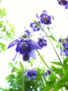 blue, columbin, garden