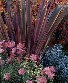 fall colors - 1. phormium 'rainbow warrior', 2. chrysanthemum 'apricot', 3. euonymus fortunei 'emerald 'n gold', 4. convolvulus cneorum, 5. acer palmatum var. dissectum