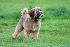 tibetan terrier / I want