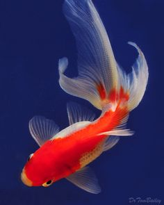 A beautiful Red and White Fantail Goldfish in one of our aquariums, when our DrTom snapped this picture. To see more click on ... http://www.AquariumFish.net/catalog_pages/goldfish_and_koi/fantail_and_ryukin_table.htm#7125