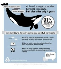 Did you know orcas swim an average of 80 miles a day in the wild? Imagine what life is like for an orca in captivity. - Imgur