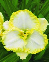 Daylily - First Knight
