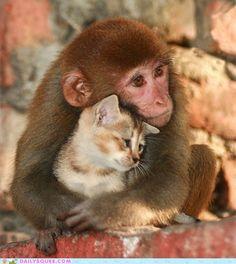 kitten, cat, pet, odd couples, baby animals, dog, animal babies, friend, monkey