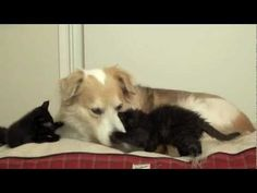 Murkin gets loved by the kittens - YouTube. This could be our dog Watson with his two cats Rascal and Diva.