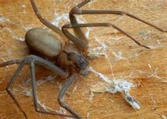 brown recluse spiders; this one? NO way! Very bad spider and aggressive.