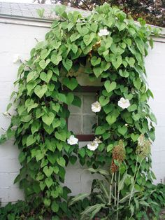 A night-blooming species of morning glory, Moonflower features fragrant white flowers that open from sundown to sunup, midsummer to early autumn. #gardening