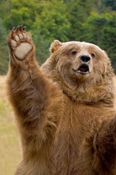 A high five Grizzly