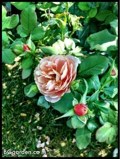 The image in this blog post is my new distant drum rose by Weeks Roses.  http://www.weeksroses.com/rose_distant_drums.htm