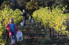 A family vineyard harvest at Youngberg Hill in Oregon Wine Country.