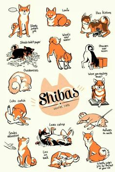 "Shibas ""secret cats"""