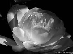 Image detail for -black and white rose