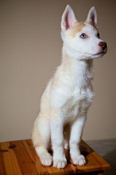 golden siberian husky puppy