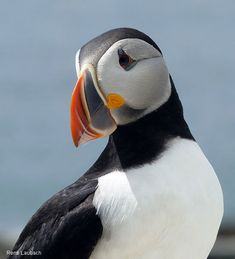 Puffins Faring Well…For Now