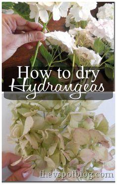 Drying Hydrangeas.