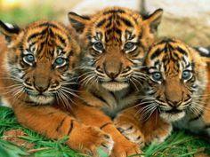Cute Tigers <3