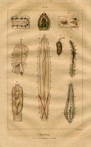 "physiologie V french 1851 hand coloured engraving   7 x 11"" $25"
