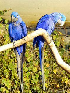 blue paraquets - photo/Lucie