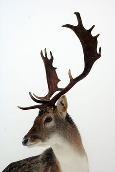 #deer #animal