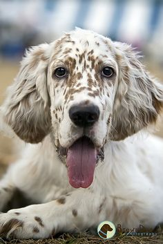 I think english setters are beautiful dogs.