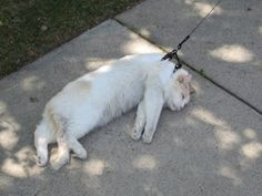 Cats love being walked.