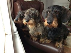 Adorable wire-haired dachshunds, the gentlemen of the dog world.