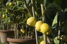 dwarf fruit trees zone 7 - lemon