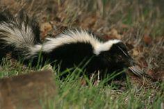 Oh no! Sprayed by a skunk
