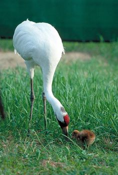 Endangered Whooping Cranes – like this adult with its chick – are one of many species threatened by tar sands pipelines. (US Fish & Wildlife Service)