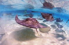 Swimming with the stingrays in Cayman Islands
