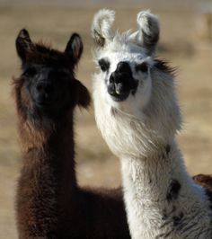 I love llamas. :)