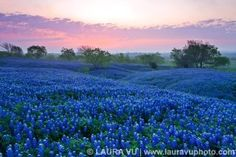 Tx Hill Country Bluebonnets, oh how I miss them!