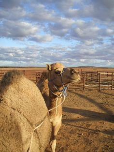 Training Wild Camels - Australia