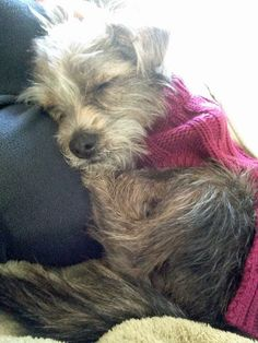 Violet the Yorkie Mix-I just love the photo! Such perfect love and trust!