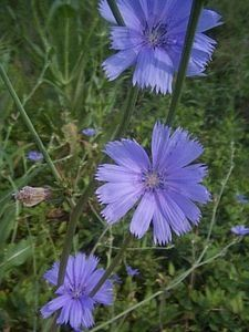 Roasting Chicory Root for Coffee DIY Recipe » The Homestead Survival