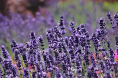 This new Sensational Lavender is the next generation of Phenomenal Lavender. The large thick lavender flowers grow on extra sturdy stems. Beautiful thick silver foliage provides the base for dense branching stems topped with sweet lavender buds. The Sensational Lavender has extremely good heat and humidity tolerance and is cold tolerant. Hardy in zones 5 to 9. The New Sensational Lavender blooms provide sweet lavender floral fragrance with low camphor. Plants are grown and shipped (to most a