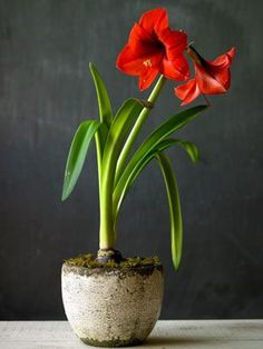 How to care for amaryllis after it blooms. | From Organic Gardening