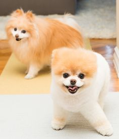 Boo and Buddy: a powerful pair of Pomeranians.