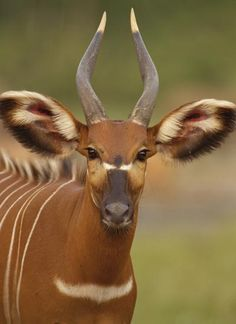 The bongo is a large antelope living in Africa. It has a reddish-brown coat with narrow white stripes. The pattern of the stripes looks something like a harness. Check out an eagle going after its prey next.